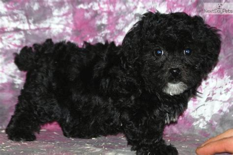 havanese poodle puppies meet havapoo a havapoo puppy for sale for 995 havanese poodle