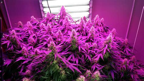 coltivare marijuana vaso 10 segreti per coltivare strain autofiorenti by paradise