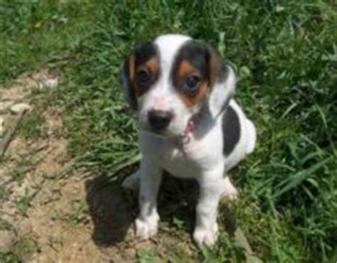 doxle puppies doxle beagle x dachshund mix info temperament puppies pictures