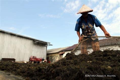 Bibit Rumput Laut kkp siapkan kebun bibit rumput laut di 22 kawasan