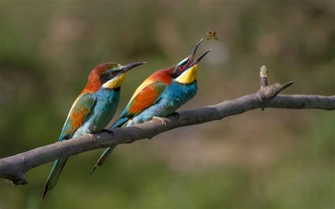 european bee eater full hd wallpaper and background