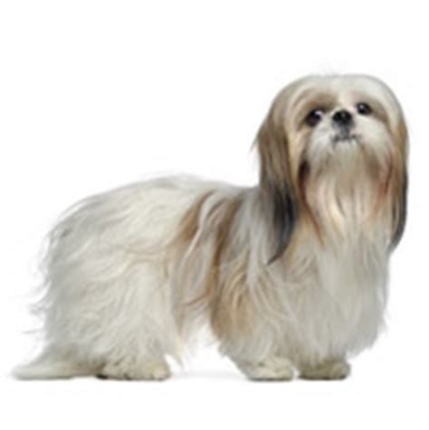 shih tzu and allergy sufferers best family dogs top 10 family dogs