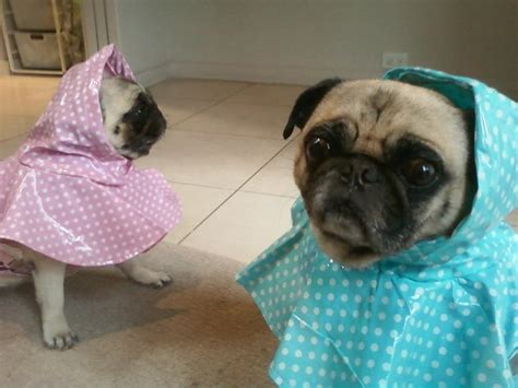 pug raincoat the sure way to prevent your pug from catching a cold