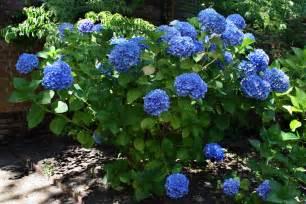 hydrangeas in bloom at filoli steve s genealogy blog
