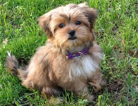 pictures of shorkie dogs with long hair 17 best images about shorkie on pinterest best dogs i