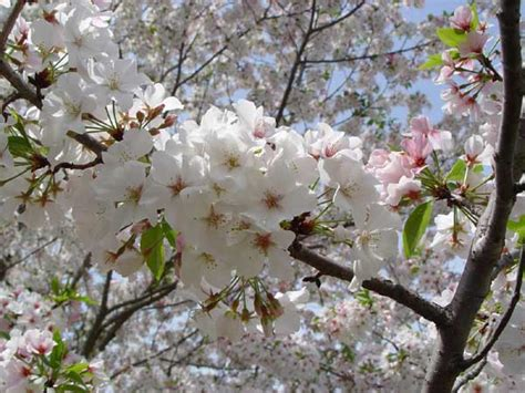 cherry tree kinds 3 plant types to beautify garden