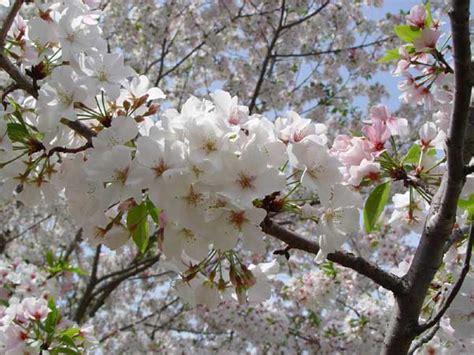 cherry tree species 3 plant types to beautify garden