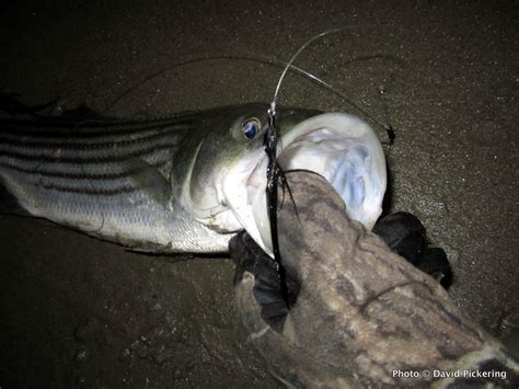 nighttime rules for late season striped bass rhode island