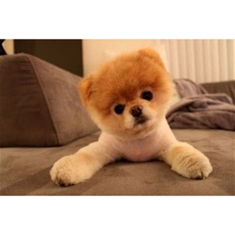 pomeranian puppies like boo for sale meet boo the cutest pomeranian damn cool pictures polyvore
