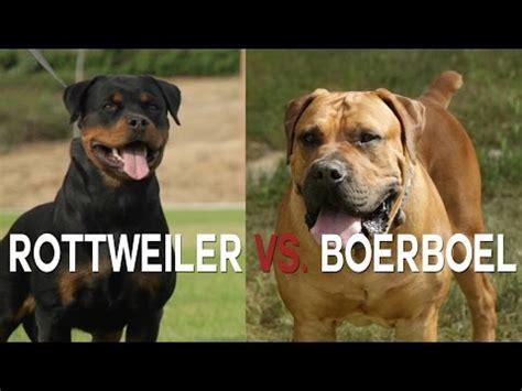 boerboel vs rottweiler rottweiler funnydog tv