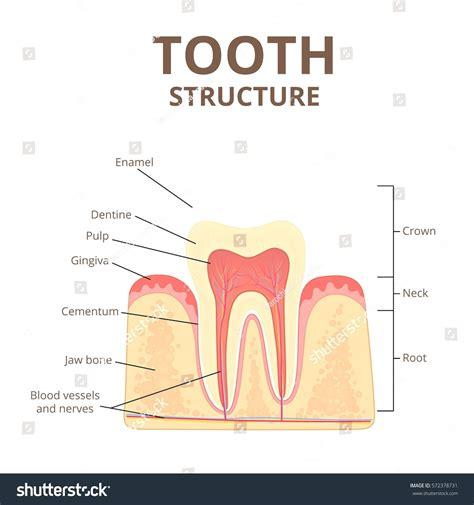 diagram of types of teeth diagram diagram of types of teeth