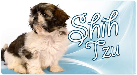 shih tzu breeders in miami florida shih tzu puppies for sale in miami shih tzu shih tzu puppies shih tzu for sale