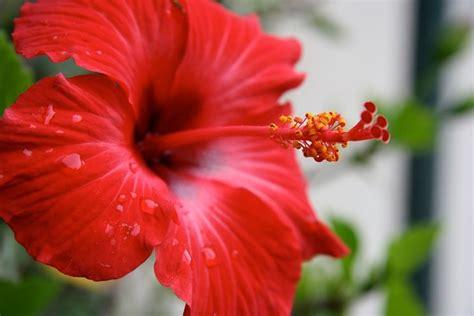 fiore ibiscus ibiscus significato significato fiori il significato