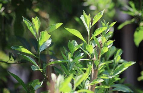 Tanaman Daun Afrika kajian ilmiah khasiat daun afrika