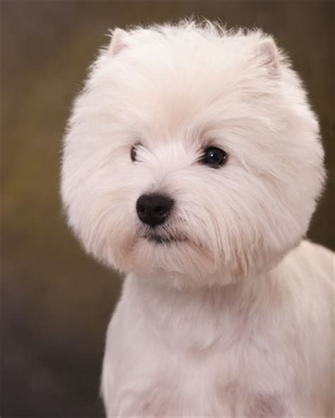 west highland terrier haircuts espree animal products breed profiler westie love
