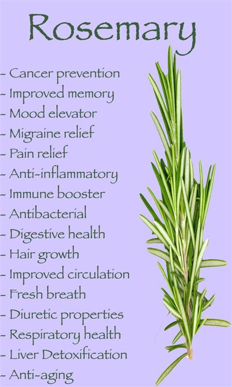 Medicinalcosmetic Uses Of Rosemary by Health Benefits Of Rosemary Health Fitness