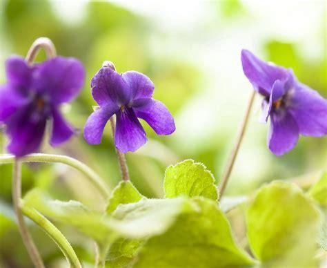 viole fiori immagini immagini