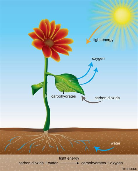 Plant Food That Comes With Flowers by Photosynthesis Nature Science Lifestyle And Phytotherapy