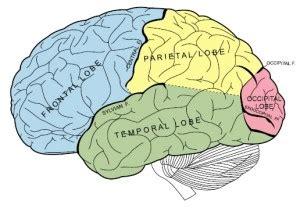 human brain frontal lobe cars