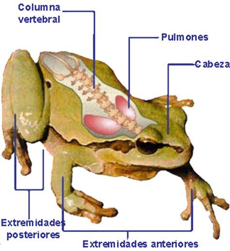 imagenes animales que respiran por los pulmones los anfibios y sus caracter 237 sticas