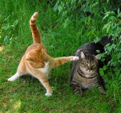 7 Ways To Stop A Cat Fight by Animals Fighting Pictures