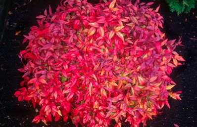 Patio Bushes Fire Power Nandina Domestica For Sale Brighter Blooms