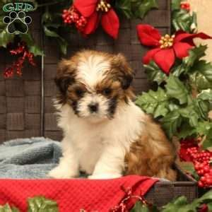 malshi puppies for sale in pa mal shi puppies for sale mal shi breed profile greenfield puppies