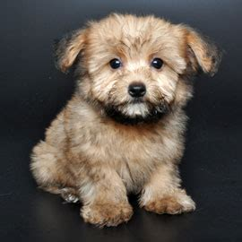 yorkie poo maltese breed info justpuppies net