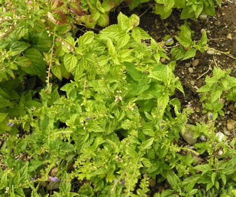 botanischer garten münchen stor fross 195 182 rt 54223 swedish common name scutellaria