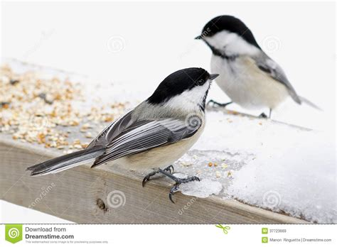 chickadees feeding in backyard royalty free stock images