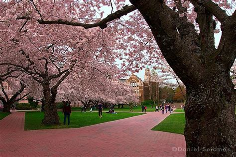 u of s cherry trees 17 best images about of washington on reading room and yoshino