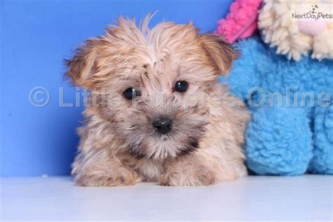 yorkie coton morkie yorktese puppy for sale near columbus ohio 6f404c42 7c41