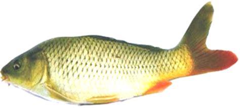 Pakan Ikan Daphnia Sp budidaya ikan hasil penelitian ikan