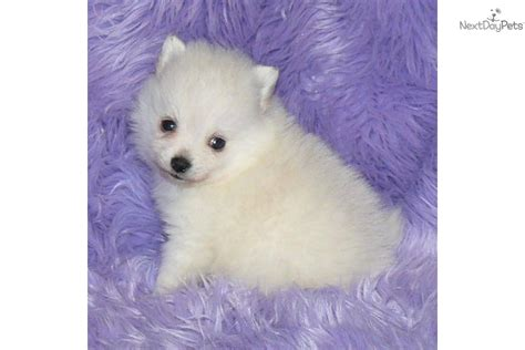 teacup pomeranian puppies for sale in ohio search results teacup pomeranians for sale in missouri the best hair style