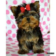 teddy bear cut for teacup yorkie 1000 images about yorkie haircuts on pinterest yorkie