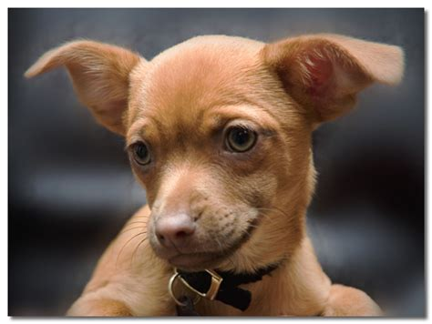 how much are chihuahua puppies teacup chihuahuas separating the facts from the fiction