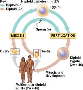 Human reproduction cycle life cycle html 13 05humanlifecycle jpg