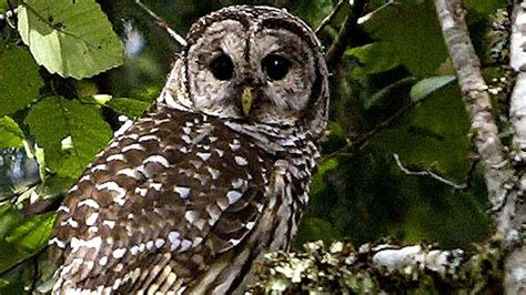 shooting of owls ok d to protect endangered species