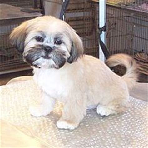 thicken shih tzu tails tips on styling dogs on pinterest 145 pins
