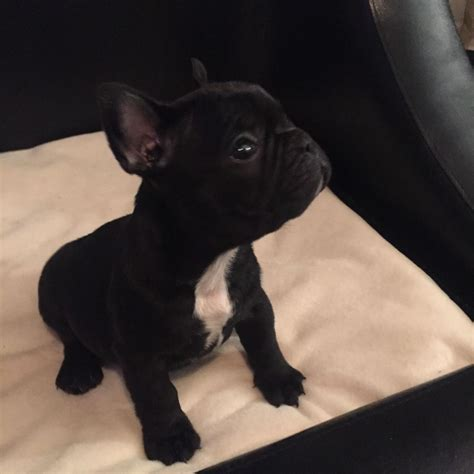 black bulldog puppies black bulldog puppies for sale ready now worcester worcestershire
