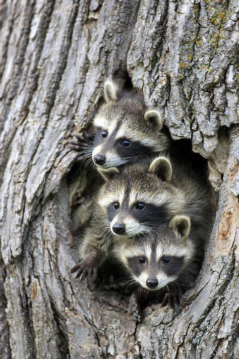 pin  brooke porter  raccoons  images cute