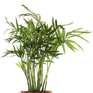 Diseases Of Banana Plants - growing palms indoors learn about bamboo palm care