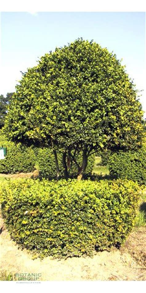 Str Ucher Auf Stamm 1422 by Buxus Sempervirens Sorten Buchsbaum Krankheiten
