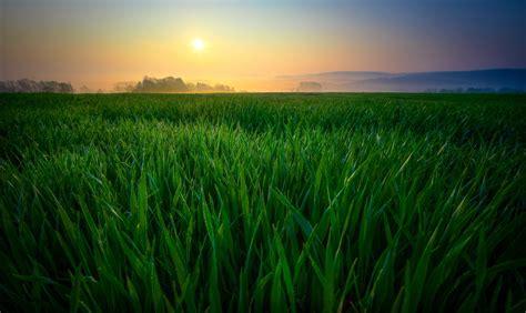 rice grain grass field  stock photo