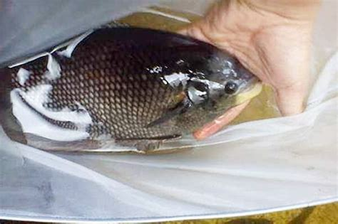 Obat Bibit Ikan Gurame penyakit ikan gurame mata belo klik herbal page