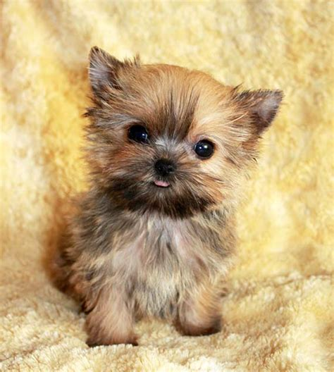 morkie puppies iheartteacups we beautiful and tiny teacup and micro mini sized tea puppies for