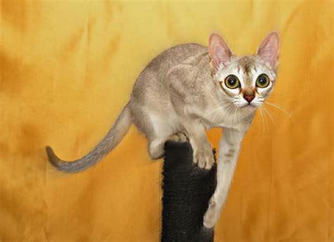 World?s Smallest Domestic Cat Breeds ? Wow Amazing