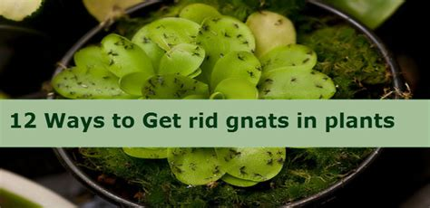 how to get rid of gnats in my house house plan 2017