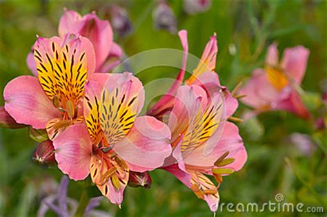 foto fiore bocca di bocca di fiore di antirrino fotografia stock
