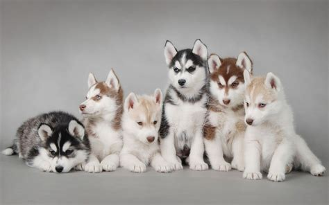 puppies husky siberian husky puppies hd desktop wallpaper